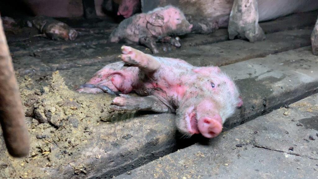 Indiana Pig Farm Suffering Piglet