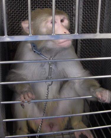 Sam Smith NIH Monkey