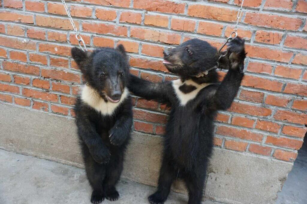 chained bear cubs